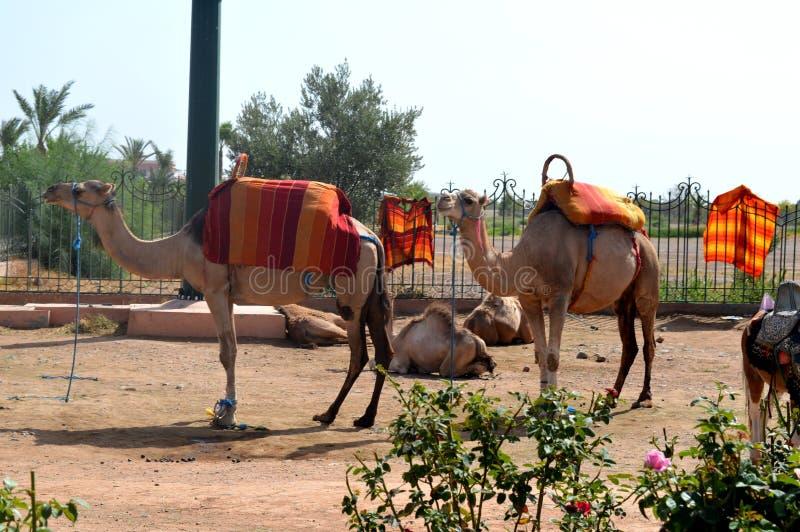 非洲单一的humped骆驼或dromedars 图库摄影