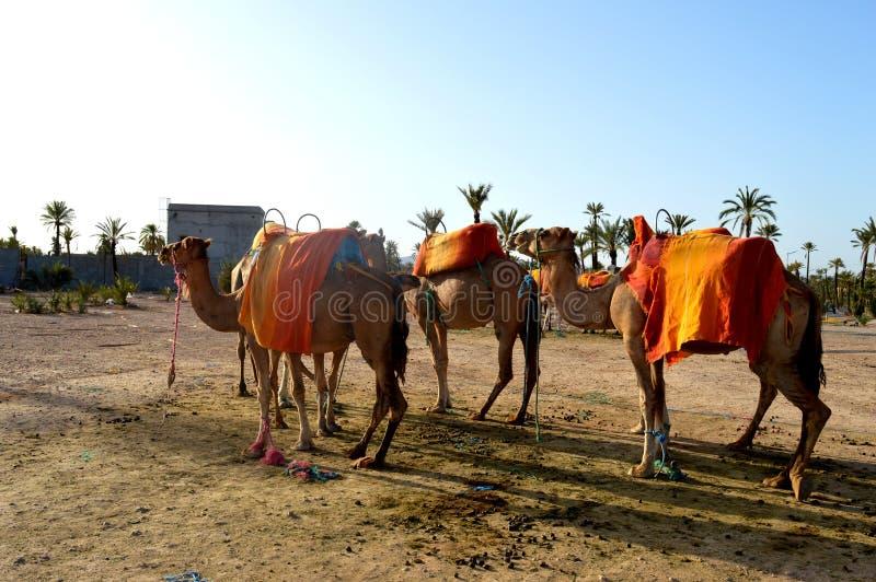 非洲单一的humped骆驼或dromedars 库存图片