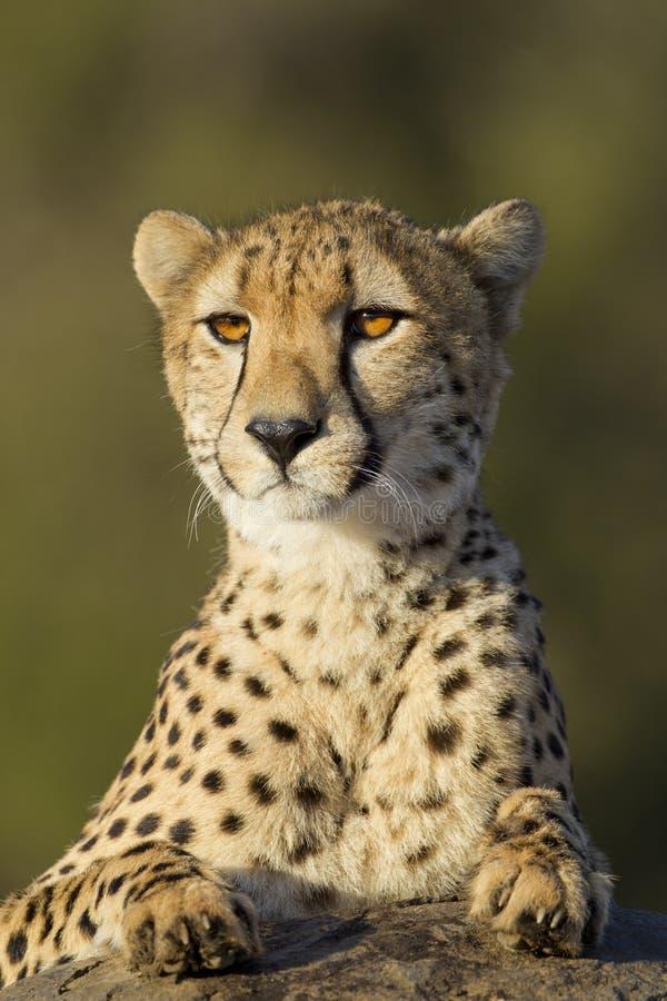 非洲南猎豹的纵向 库存照片