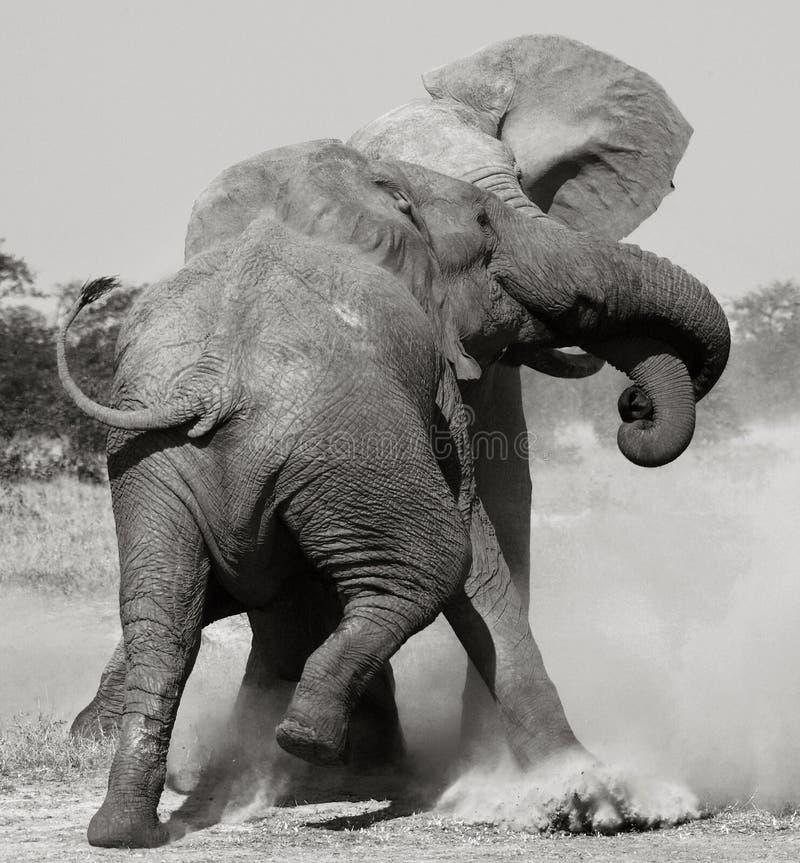 非洲博茨瓦纳大象战斗 免版税库存照片
