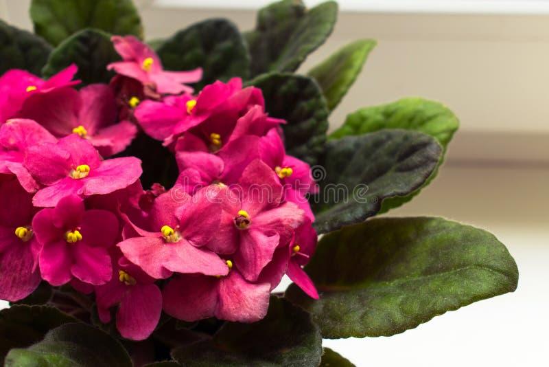 非洲堇紫色花,在窗口的小桃红色花 免版税库存照片