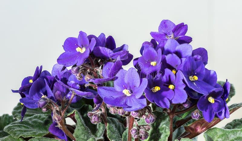 非洲堇ionantha 蓝色非洲紫罗兰绽放和绿色叶子 开花的花卉罐,轻的背景 免版税库存照片