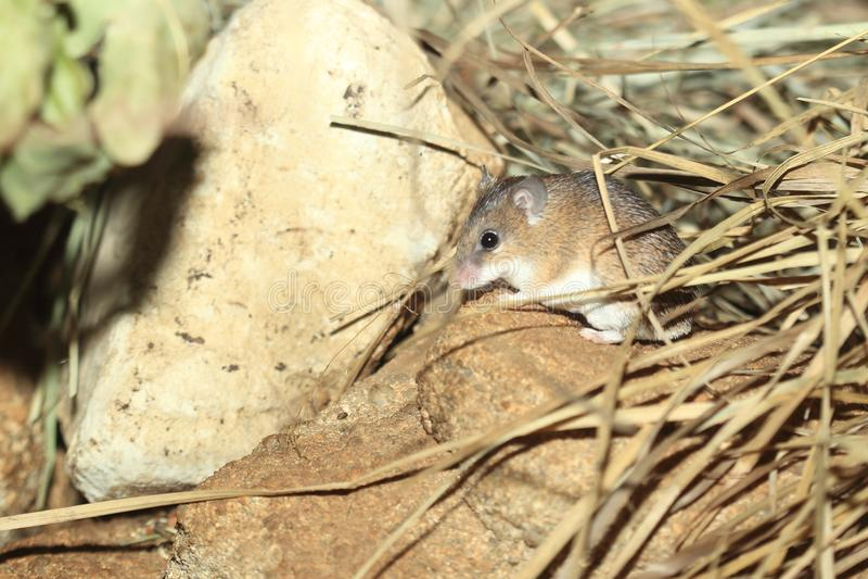 非洲多刺的老鼠 库存图片