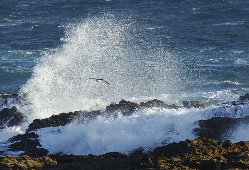 非洲大最近的海鸥南通知 免版税库存图片