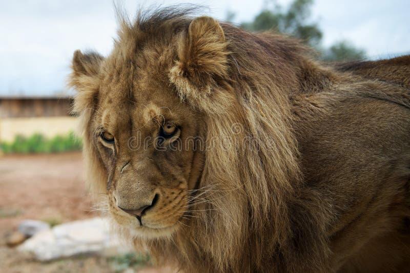 非洲大狮子男纵向 免版税库存照片