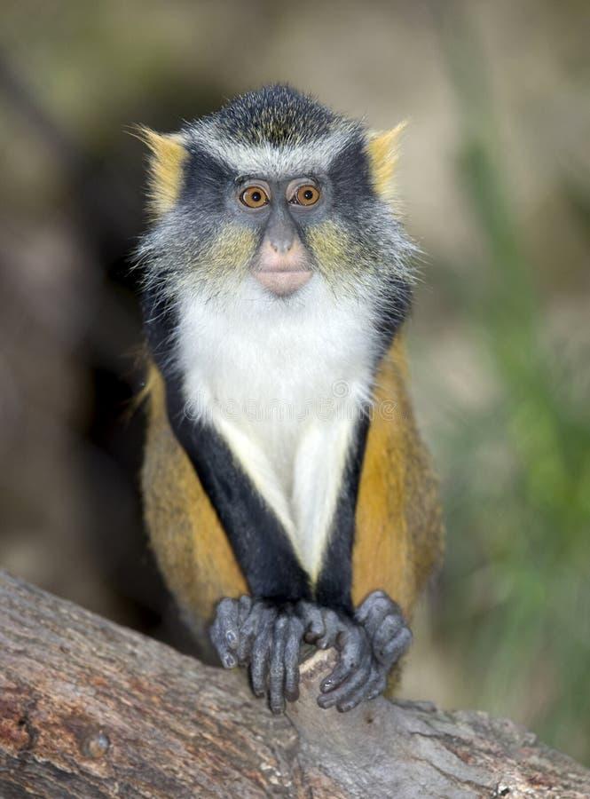 非洲大被注视的gremlin guenon猴子狼 库存照片