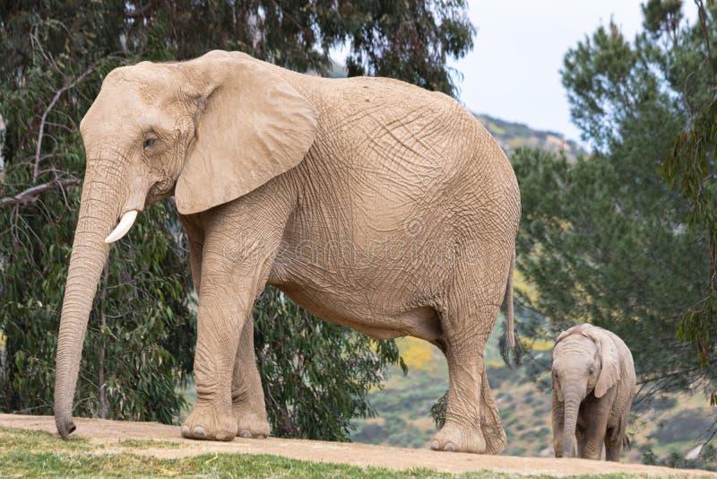 非洲大象、亲切的爱恋的嫩关系、母亲和孩子,逗人喜爱的微小的婴孩大象跟随的母亲,自然户外 免版税库存图片