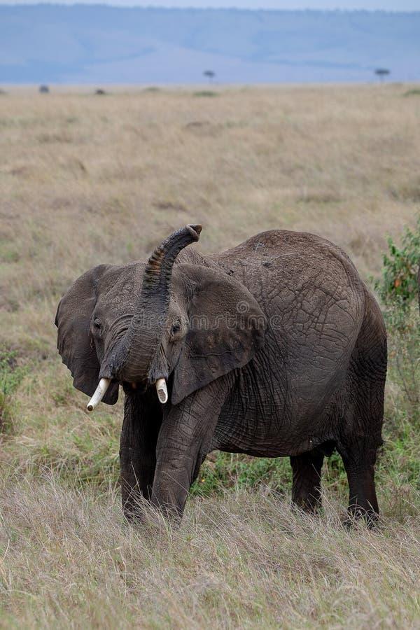 非洲大象举在马塞人玛拉,肯尼亚的树干 库存图片