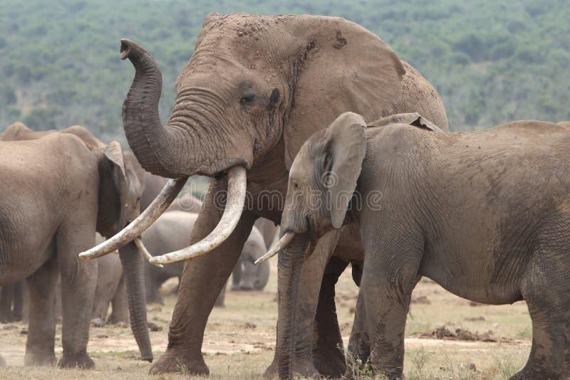 非洲大象伙伴 库存照片