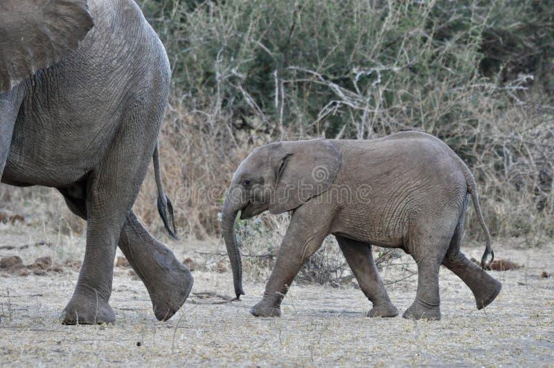 非洲大象和小牛在狂放 免版税库存图片