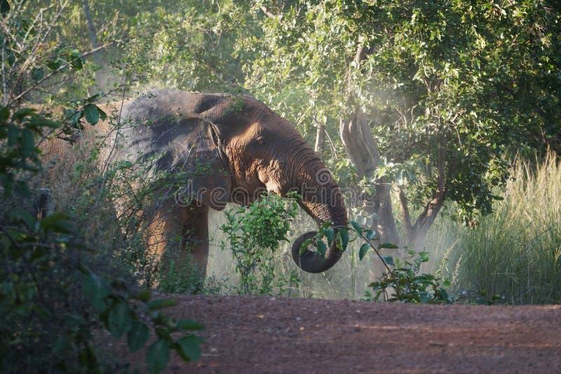 非洲大象在莫尔国家公园,加纳 免版税库存图片