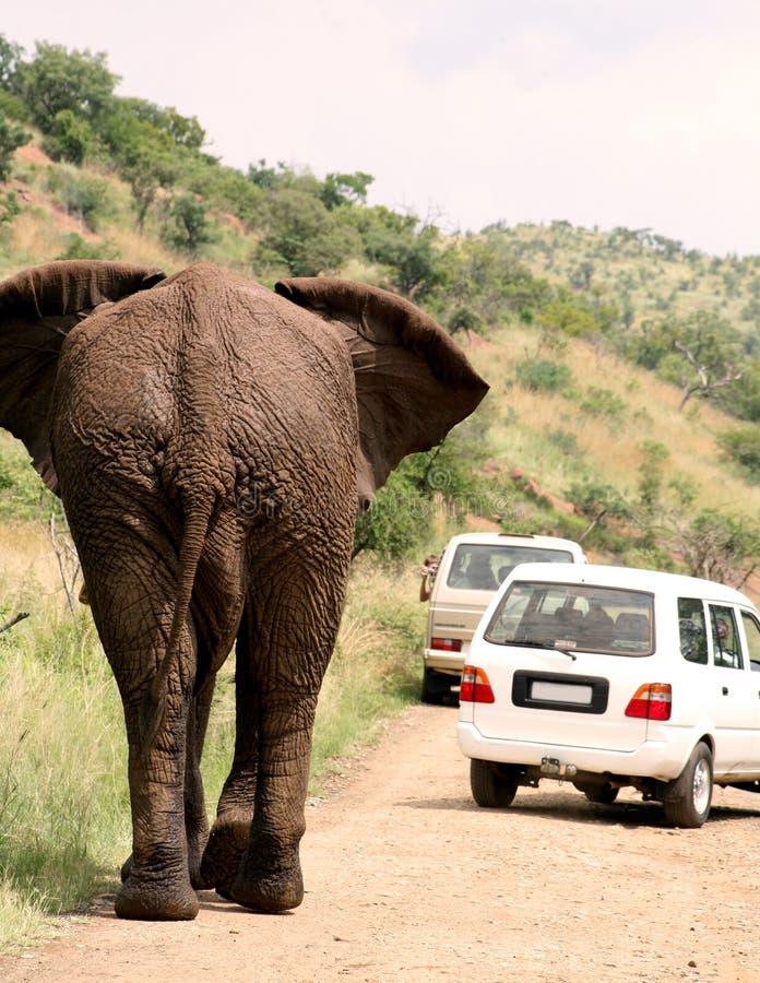 非洲大象徒步旅行队 库存图片