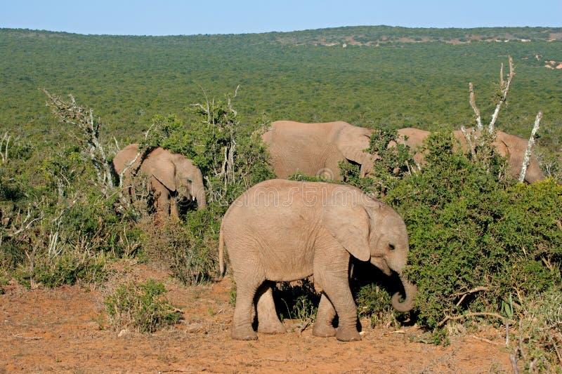 非洲大象提供 免版税库存照片