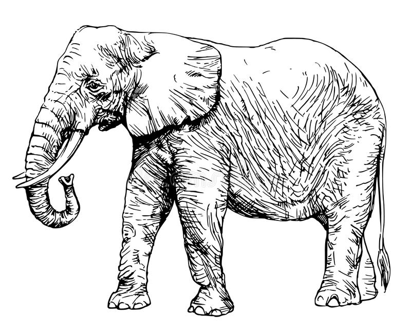 非洲大象查出的白色 库存例证