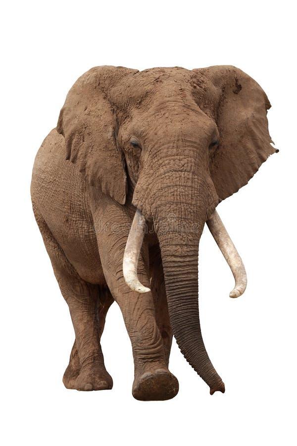 非洲大象查出的白色 免版税库存照片