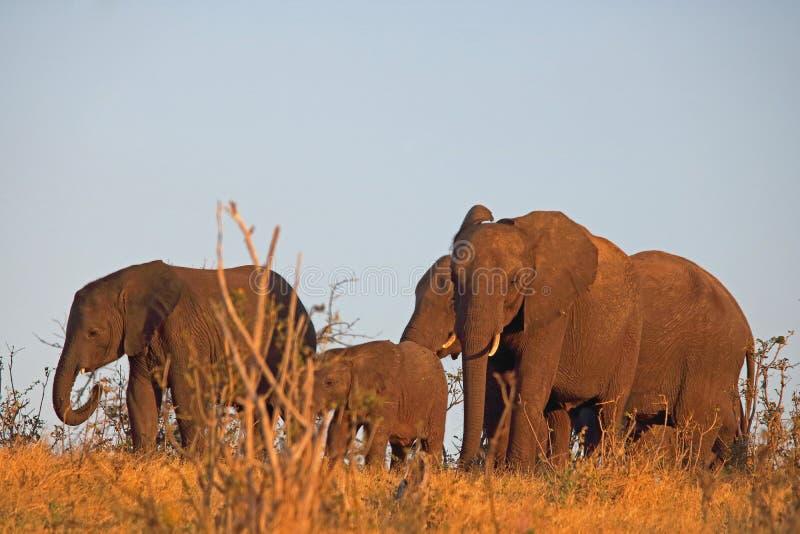 非洲大象牧群在里奇的在下午太阳末期 免版税库存照片