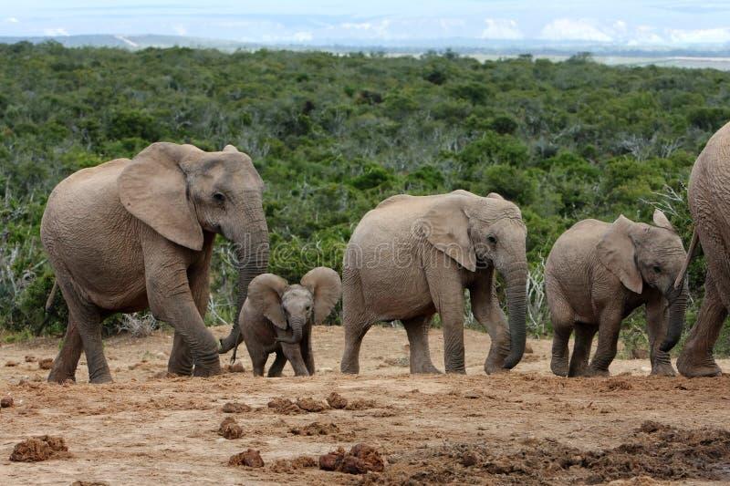 非洲大象系列 图库摄影