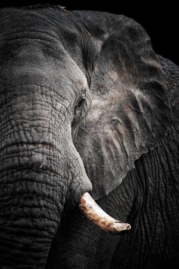 非洲大象纵向 图库摄影