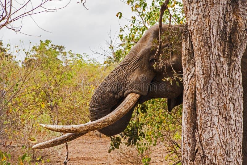 非洲大象非洲象属africana 8 库存图片