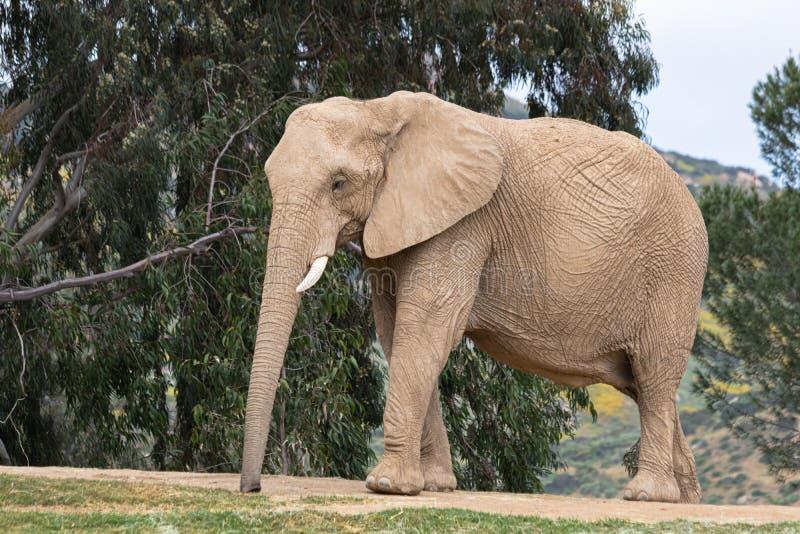 非洲大象,走的女性,树在背景中,大耳朵,镇静平安的强有力的动物 库存图片