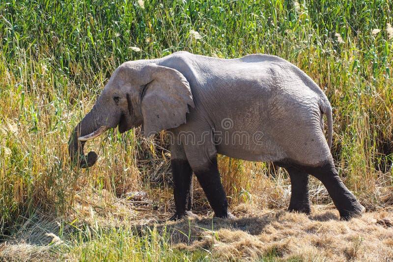 非洲大象,非洲象属Africana在埃托沙国家公园,纳米比亚 免版税库存照片