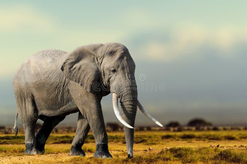 非洲大象,马塞人玛拉国家公园,肯尼亚 免版税库存照片