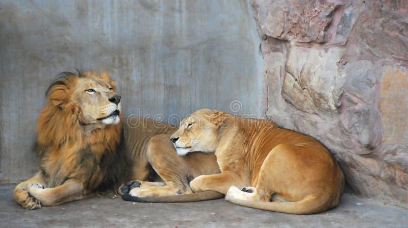非洲夫妇狮子 免版税库存图片
