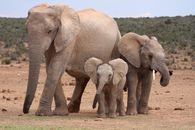 非洲婴孩大象 免版税库存照片