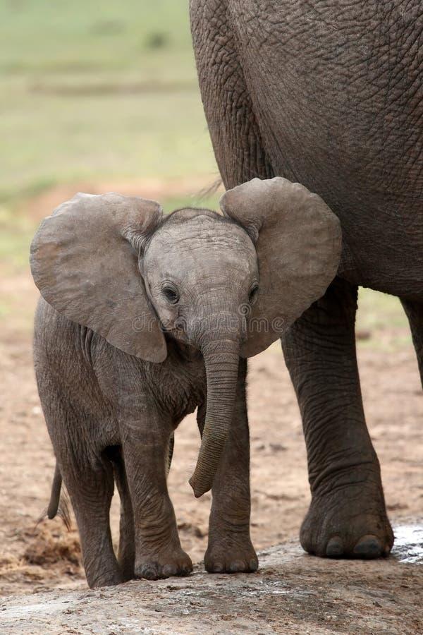 非洲婴孩大象 库存图片