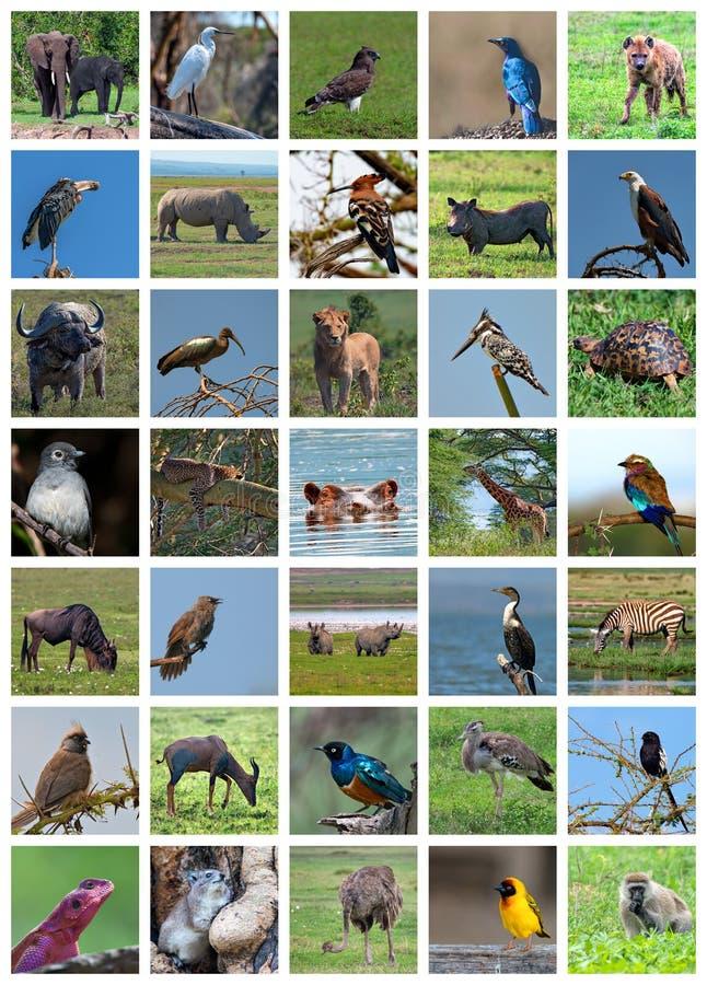 非洲徒步旅行队拼贴画 野生生物品种 免版税库存照片