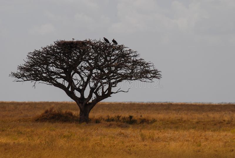 非洲徒步旅行队风景 塞伦盖蒂国家公园,坦桑尼亚,非洲 与掠食性鸟的金合欢树在分支 库存照片
