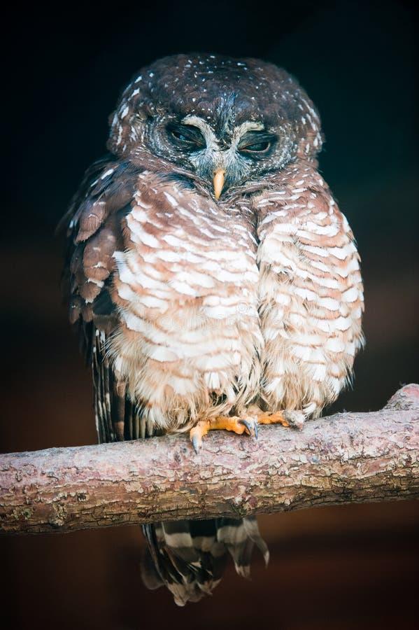 非洲拉特银币猫头鹰猫头鹰类木头woodfordi 免版税库存照片