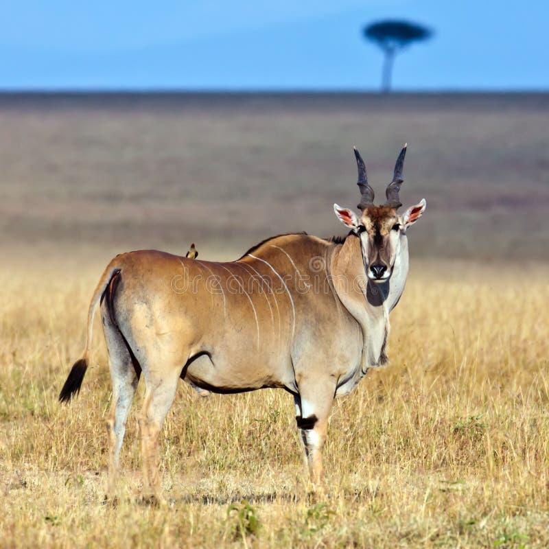 非洲最大羚羊eland 免版税库存图片
