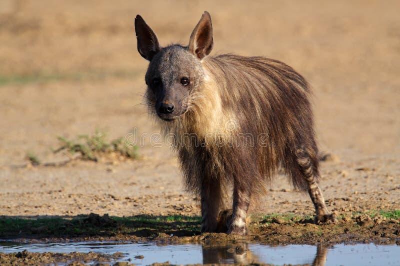 非洲棕色鬣狗南的kalahari 库存照片