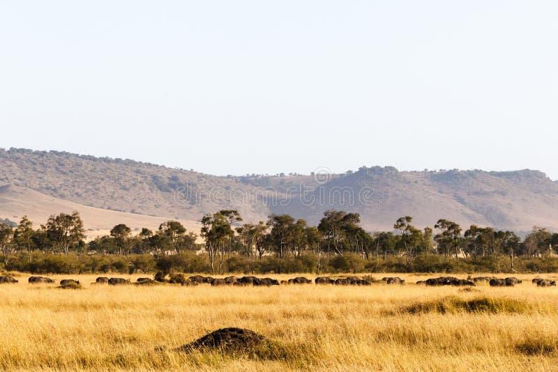 非洲水牛城大牧群  mara马塞语 肯尼亚,非洲 免版税库存图片