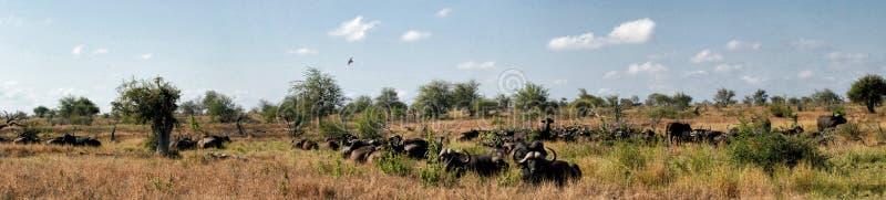 非洲水牛牧群全景在非洲风景的 免版税图库摄影
