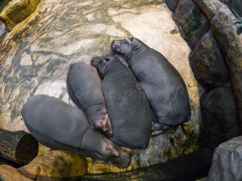 非洲河马肯尼亚mara马塞人休眠 库存照片