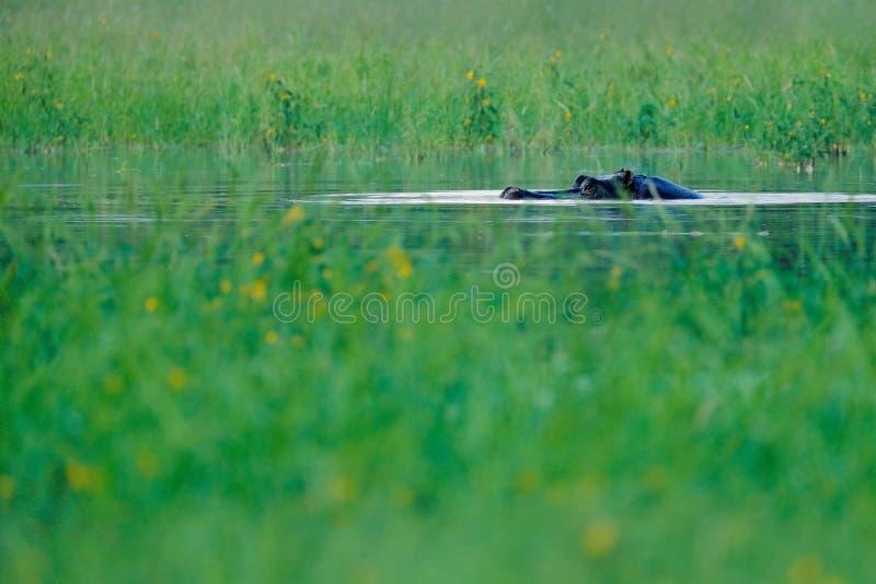 非洲河马,河马amphibius海角,与晚上太阳,动物在自然水栖所, Okavango,博茨瓦纳, A 库存图片