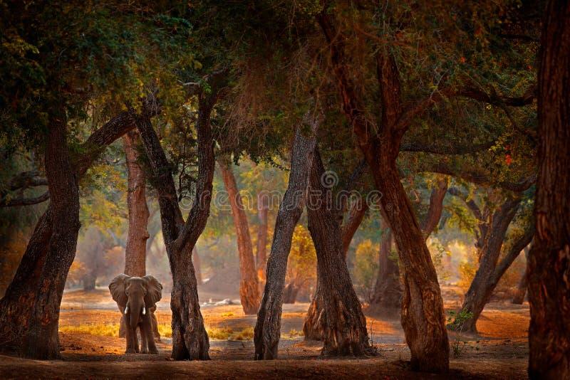非洲津巴布韦马纳普尔斯大象 老森林里的大动物,夕阳,日落 魔幻野生动物场景 免版税图库摄影