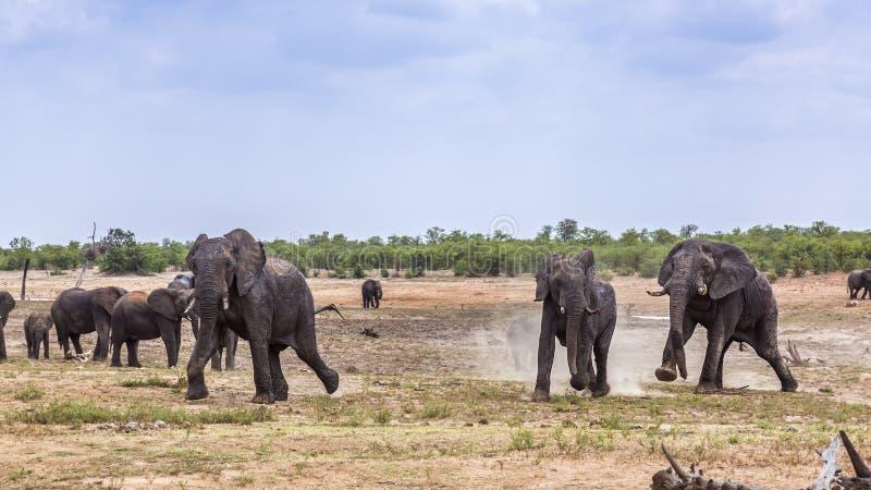 非洲灌木大象在克鲁格国家公园,南非 库存照片