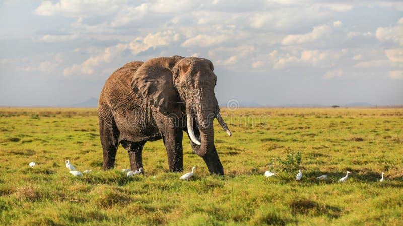 非洲灌木大象非洲象属africana哺养,吃从地面的草,在空气的某一飞行,与白色苍鹭鸟 库存照片