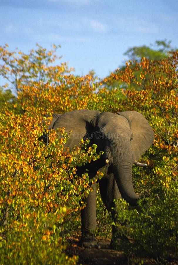 非洲灌木大象 库存图片