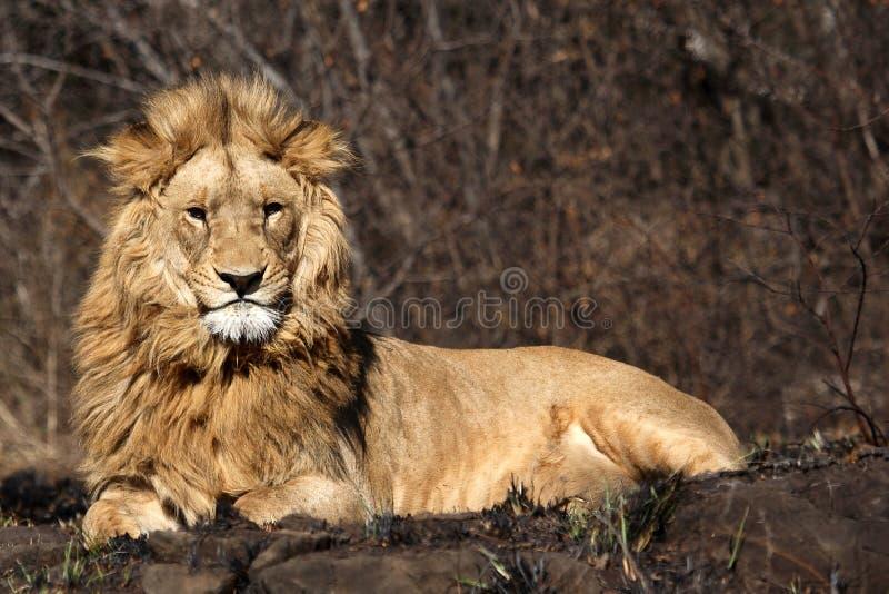 非洲灌木狮子纵向草原 库存图片