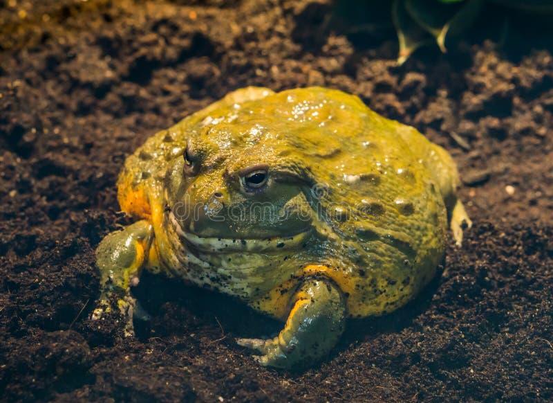 非洲牛蛙的特写镜头,从非洲的热带大两栖动物 库存照片