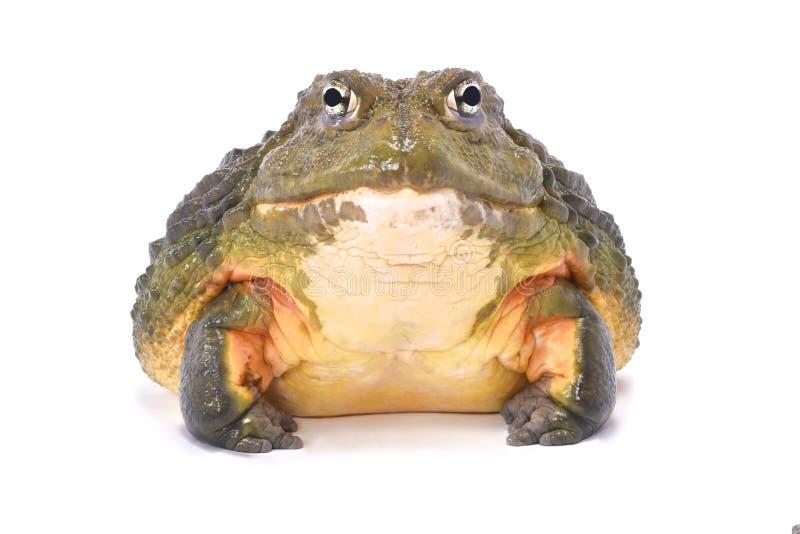 非洲牛蛙, Pyxicephalus adspersus 免版税库存图片