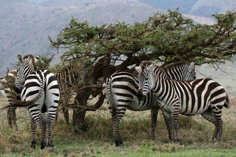 非洲牧群徒步旅行队serengeti坦桑尼亚斑马 免版税库存图片