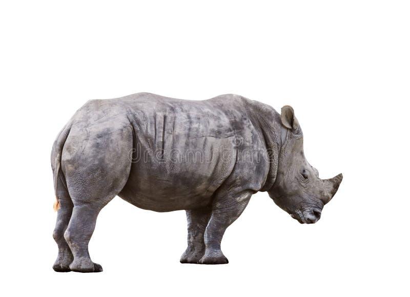 非洲犀牛侧视图充分的身体隔绝了白色背景 免版税图库摄影