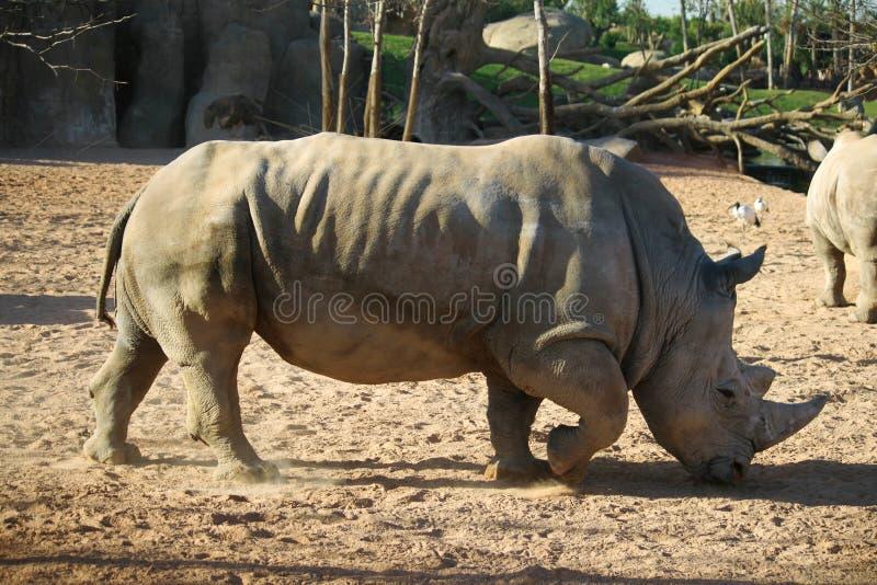 非洲犀牛徒步旅行队 库存图片