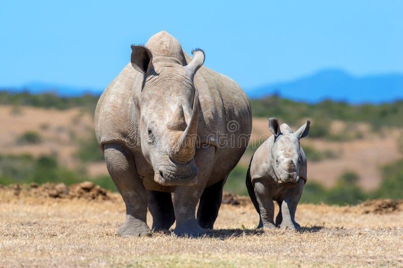 非洲犀牛白色 免版税库存图片