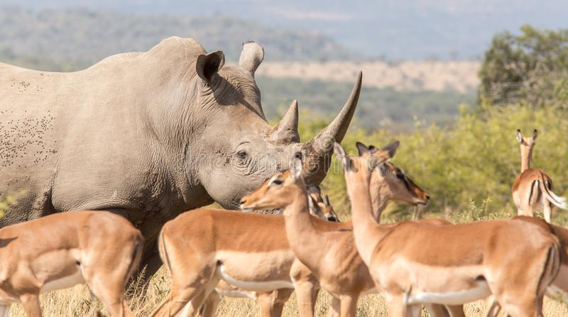 非洲犀牛证人保护 免版税库存图片